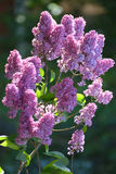 The blossoming lilac lit with the sun against a dark background Stock Photography