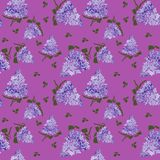 Blossoming lilac  on purple background.  Lilac branch  flower drawing, illustration. Blossoming lilac  on purple  background. Spring lilac. Lilac branch  flower vector illustration