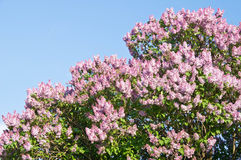 Blossoming lilac tree against blue sky Stock Photos