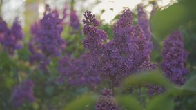 Lilac blossom tree in the garden in the spring sunshine, branches of lilac swaying wind, blossoming garden in spring. Blossoming lilacs waving from the spring stock video footage
