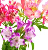 Blossoming lilies alstroemeria isolated on white royalty free stock images