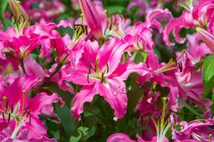 Blossoming lilies in the garden royalty free stock images