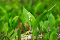 Blossoming lilies-of-the-valley in forest Royalty Free Stock Image