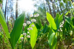 The blossoming lilies of the valley Royalty Free Stock Photos