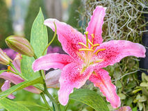 Blossoming lily Stock Photos
