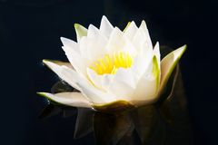 Blossoming lily in a pond Royalty Free Stock Photography