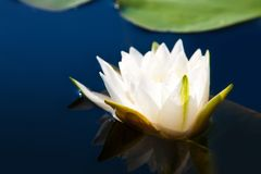 Blossoming lily in a pond Stock Image