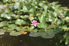 Blossoming lily in a pond with green leaves.  Stock Images