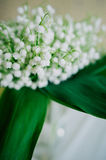 Blossoming lily of the valley in the forest. Lily-of-the-valley. Convallaria majalis.Spring background. Floral background.Selectiv Royalty Free Stock Photos