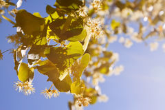 Blossoming linden branch Stock Photos