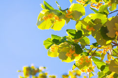 Blossoming linden branch Stock Images