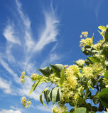 Blossoming Linden branch against the blue sky. Royalty Free Stock Photos