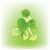 Blossoming linden branch on green background Royalty Free Stock Image