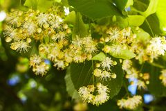 Blossoming linden branch in june day stock photography