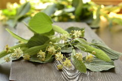 Blossoming linden branch Royalty Free Stock Image
