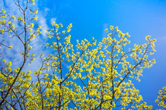 Blossoming linden branches with yellow flowers Royalty Free Stock Photos