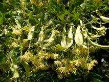 Blossoming linden European, a form razreznolistny Tilia europae a L. f. laciniata Royalty Free Stock Photography