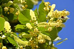 Blossoming of a linden European Tilia europaea L. against the background of the sky.  stock photography