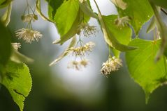 Blossoming linden and a fly royalty free stock photography
