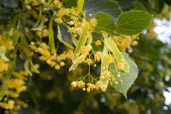 Blossoming linden tree. Linden tree in blossom. Nature backgroun Stock Photos