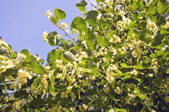 Blossoming linden tree medical blossoms om branches Royalty Free Stock Photos