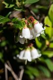 Blossoming lingonberry on summer sun. A close up of a blossoming lingonberry Vaccinium vitis-idaea on a Finnish swamp in the summer sunlight Royalty Free Stock Image