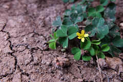 Blossoming little flower and clover tree on dry and crack soil Royalty Free Stock Photography