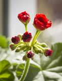 A flower of geranium. The blossoming little geranium flower on the windowsill is close up royalty free stock photo