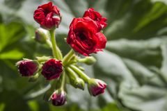 A flower of geranium. The blossoming little geranium flower on the windowsill is close up stock images