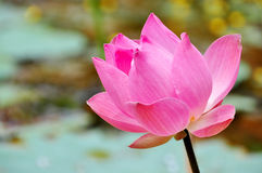 Blossoming Lotus Flower. A beautiful blossoming Lotus Flower in full bloom Royalty Free Stock Photos