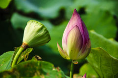 Blossoming lotus flower Royalty Free Stock Photo