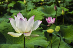 Blossoming lotus flower Stock Image
