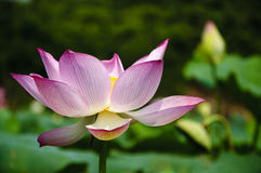 Blossoming lotus flower Royalty Free Stock Photography