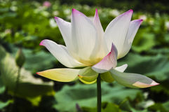 Blossoming lotus flower Stock Images