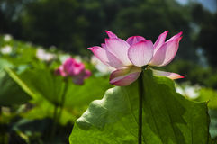 Blossoming lotus flower Royalty Free Stock Photos
