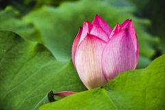 Blossoming lotus flower Stock Photos