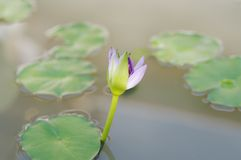 Blossoming Lotus on water. Stock Images