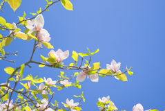 Blossoming of magnolia Royalty Free Stock Photos