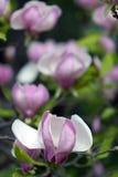 Blossoming magnolia Royalty Free Stock Photo