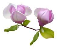 Blossoming magnolia Stock Photos