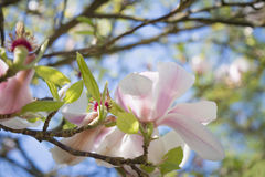 Blossoming magnolia. Close up flower Stock Photo