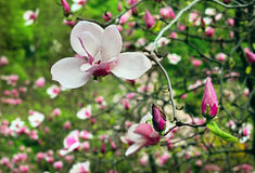 Blossoming of magnolia flower with burgeons. Blossoming of magnolia flowers with burgeons in spring time after rain Stock Image