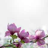 Blossoming magnolia flowers Stock Photos