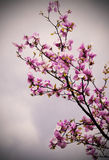 Blossoming of magnolia flowers Royalty Free Stock Photos