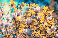 Blossoming magnolia flowers in the botanical garden Stock Photo