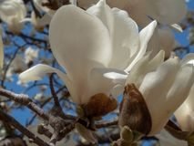 Magnolia tree in the Spring royalty free stock photos