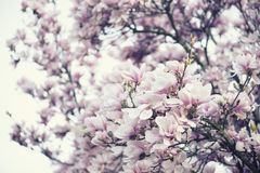 Blossoming of magnolia flowers Stock Images