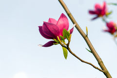 Blossoming magnolia flowers Royalty Free Stock Images