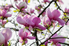 Blossoming magnolia flowers Royalty Free Stock Photos