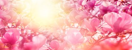 Blossoming of magnolia flowers in sun light backlit, shallow depth. Soft vintage toned. Greeting card template. Nature panorama ba Stock Images
